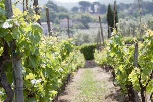 Minardi Frascati vineyard