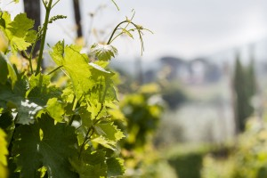 Minardi Frascati vineyard 2