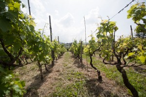 Minardi Frascati vineyard 3